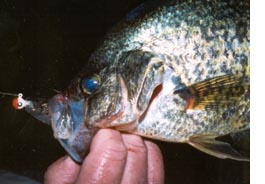 Close-up of crappie .