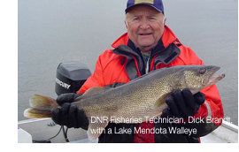 DNR Fisheries Technician, Dick Brandt, with a Lake Mendota Walleye.